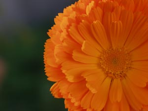 A picture named calendula.jpg