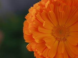 A picture named calendula.jpg